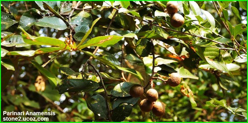 فاكهة بريناري انامنسيس Parinari Anamensis قسم الفواكه النبات معلومات نباتية وسمكية معلوماتية Grapes Fruit