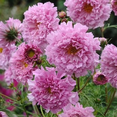 Cosmos Double Click Rose Bonbon Flower Seeds Annual Flowers Flowers Perennials