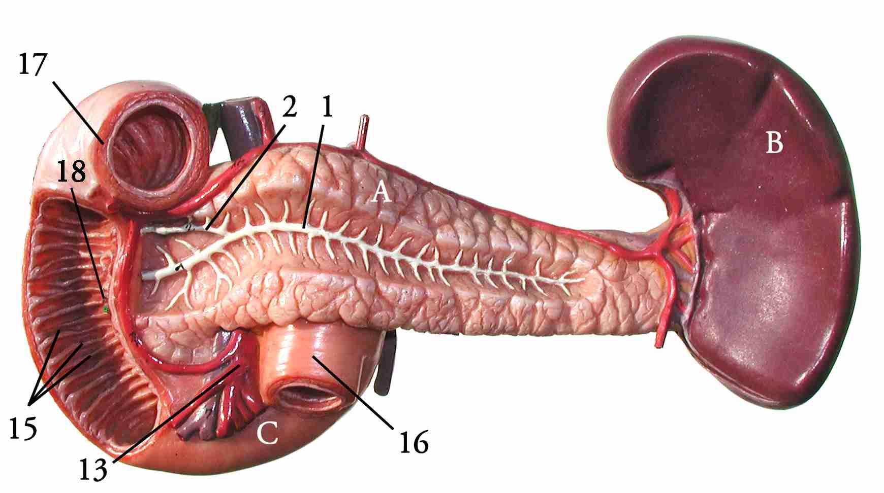 Dueodenum Pancreas And Spleen Body Of Work Pinterest Human