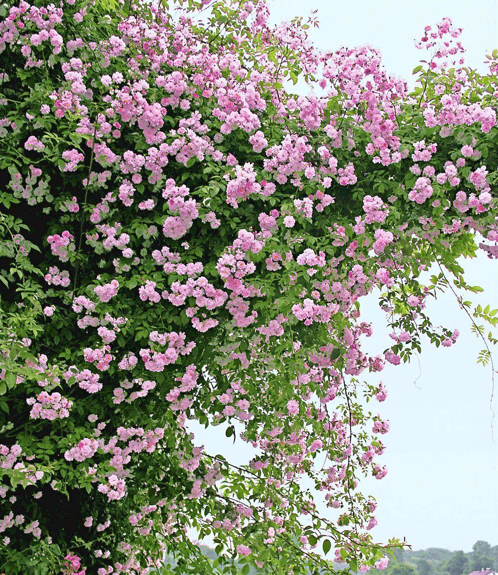 Rambler-rose 'paul's Himalayan Musk Rambler',1 Pflanze Jetzt ... Bluhende Kletterpflanzen Garten Topfpflanze