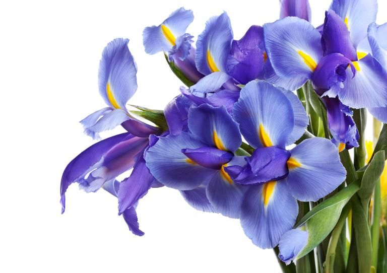 Meaning of Irises Faith and Hope The flowers are