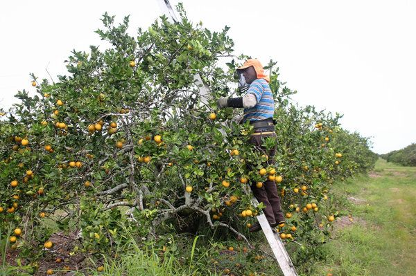 Harvesting oranges near Arcadia, Fla. The sacks that workers carry weigh about 90 pounds when they are full of fruit.