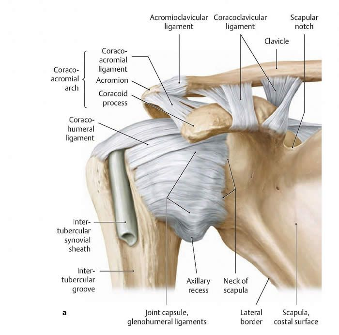 Glenohumeral Joint Capsule Pa Study Tools Pinterest Physical