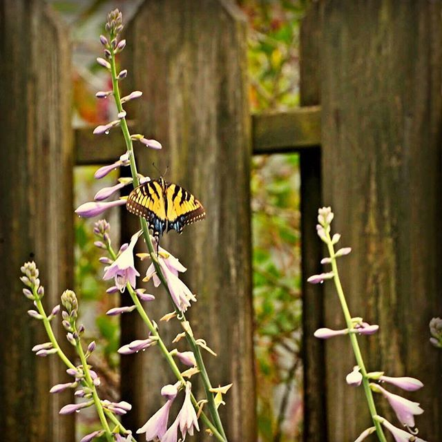 #nature #Summer #photo #butterfly #Flowers #distressedfx #filter