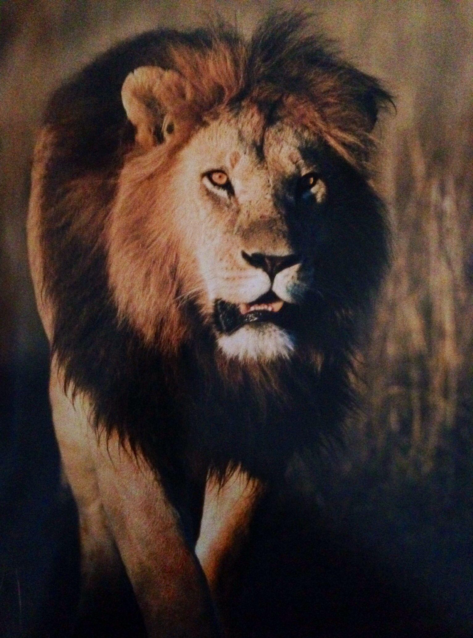 Crazy Scary Lion Art Lion Pictures Lion Wallpaper