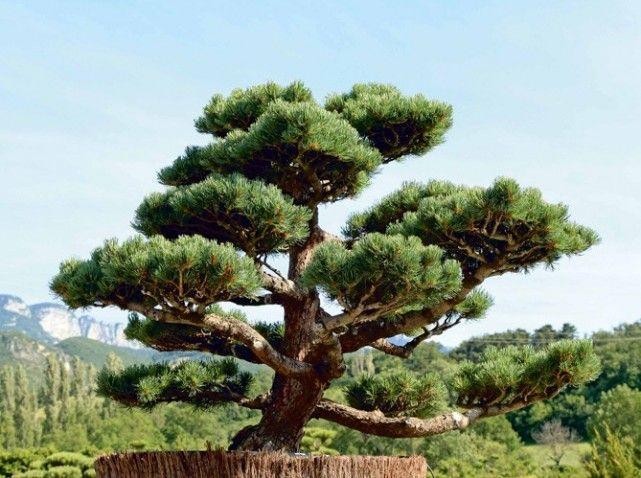comment tailler ses arbres en nuage garden pinterest nuage jardins et paysagiste. Black Bedroom Furniture Sets. Home Design Ideas