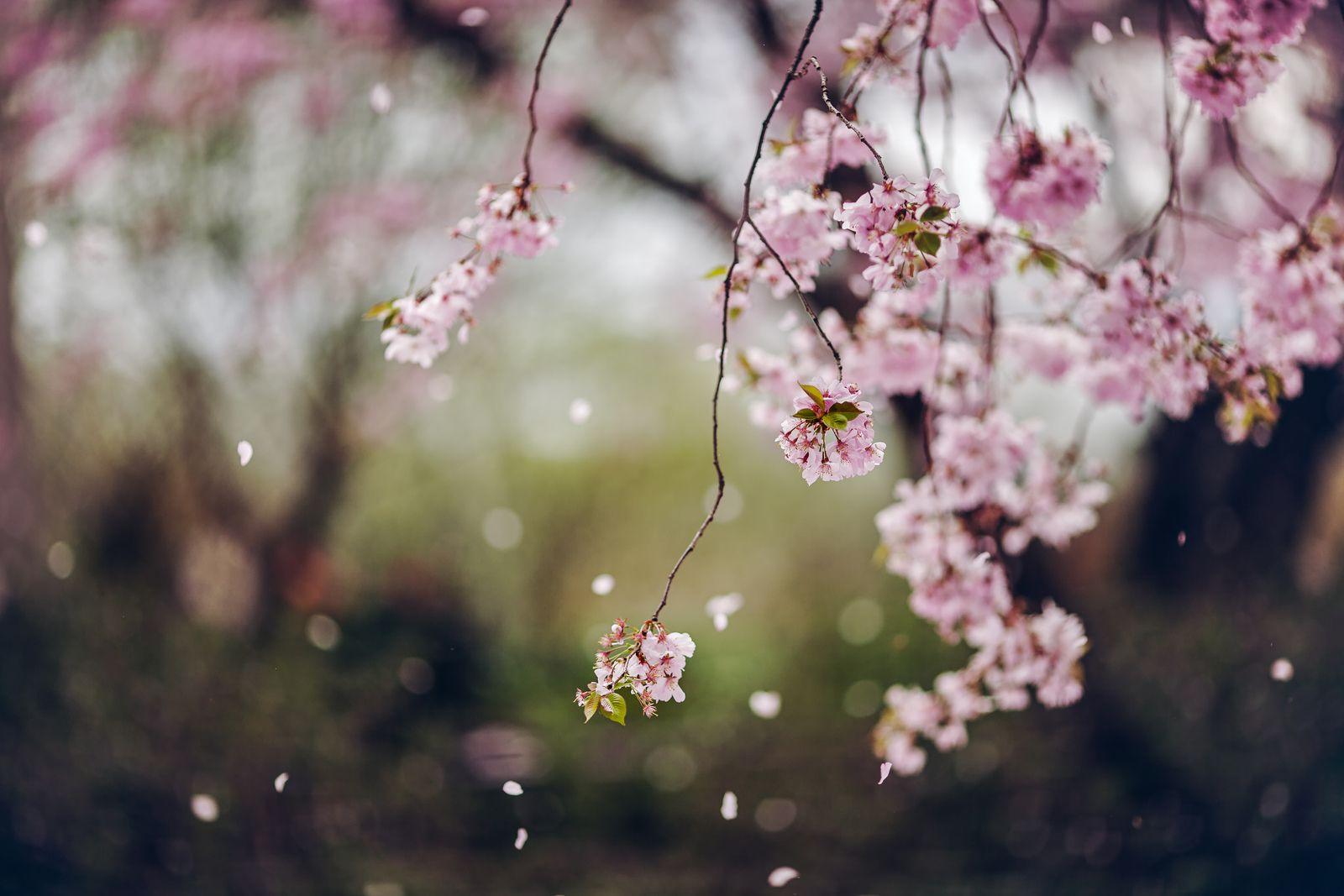 Falling Cherry Blossom Petals Blossom Trees Cherry Flower