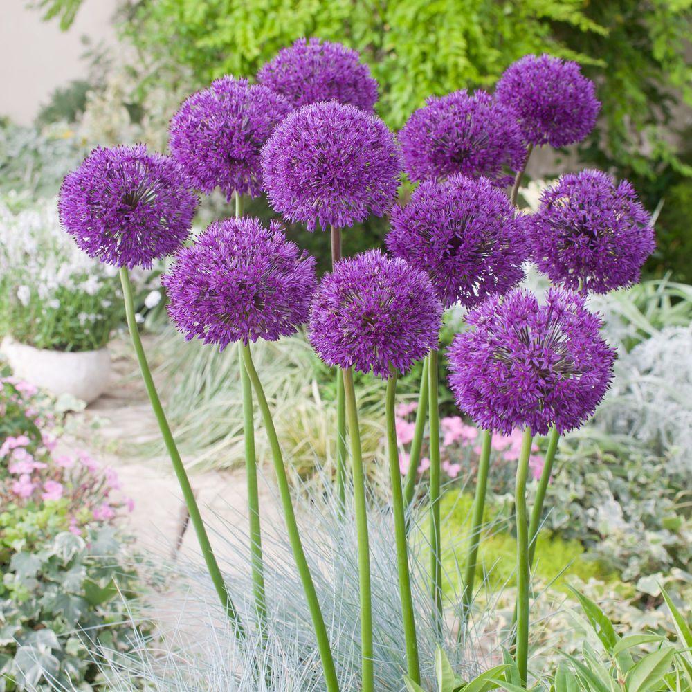 Allium Purple Sensation Flower Bulbs Plant Perennial Tall Spring