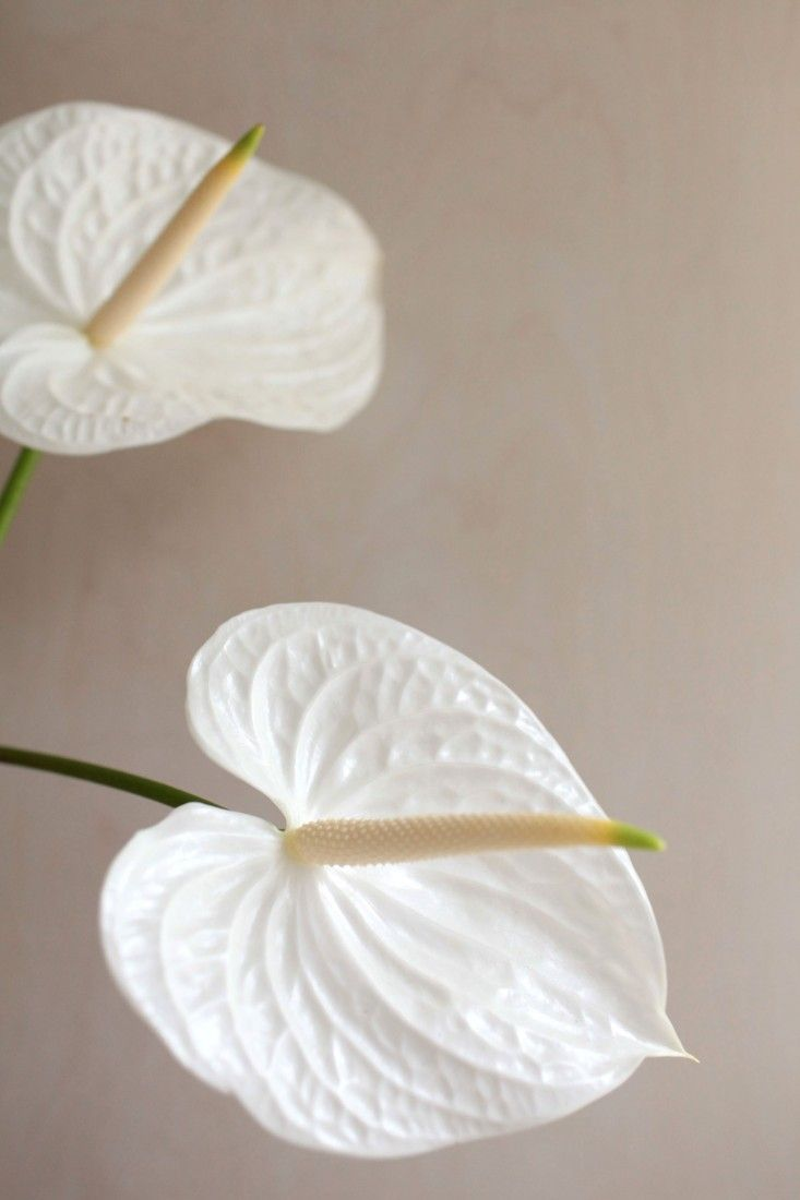 Anthuriums Rethinking A Hotel Lobby Flower Anthurium Flora Botanica Gardenista