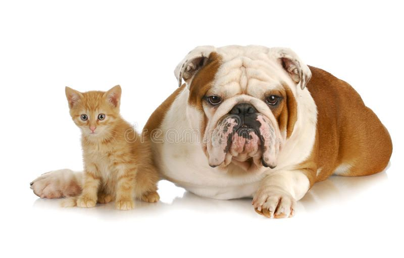 Dog And Cat English Bulldog And Young Kitten Together On White
