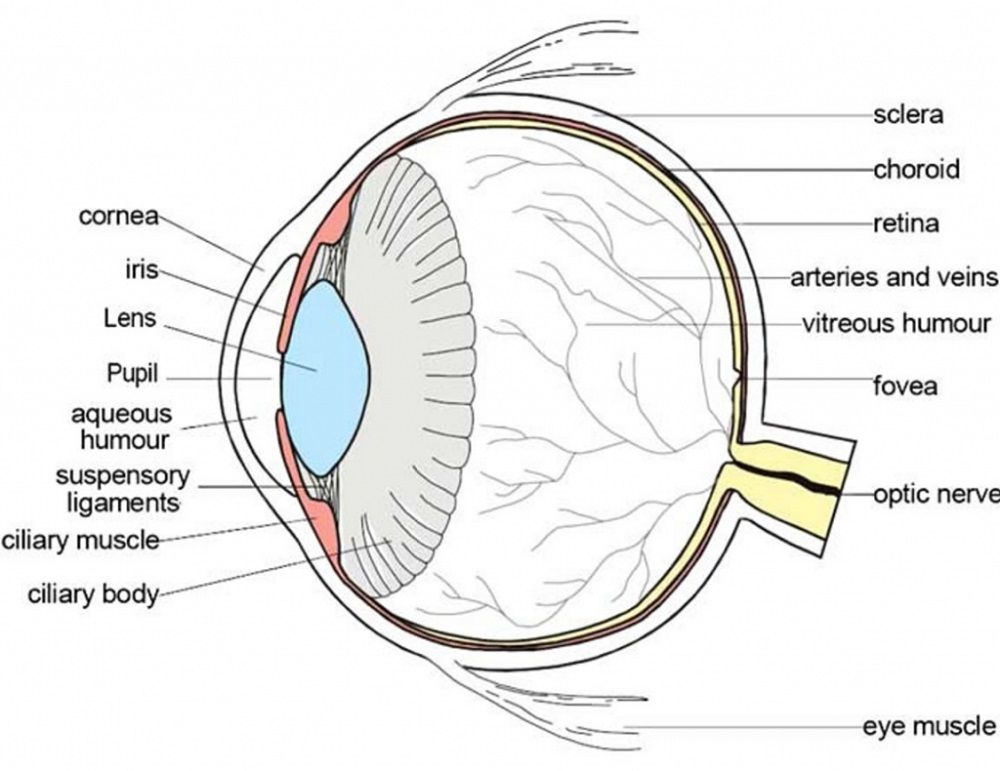 Diagram Of Eye Anatomy Diagram Link Human Eye Diagram Diagram Of The Eye Eye Anatomy