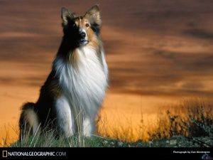 Wallpapers Rough Collie At Sunset Dog Pictures Dogs Dog Wallpaper