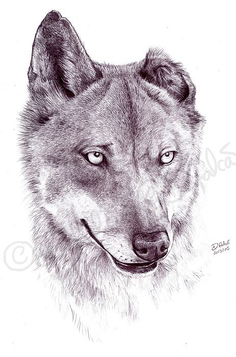 651700c0c iberian wolf drawing - Google Search | Drawing class ideas | Wolf ...