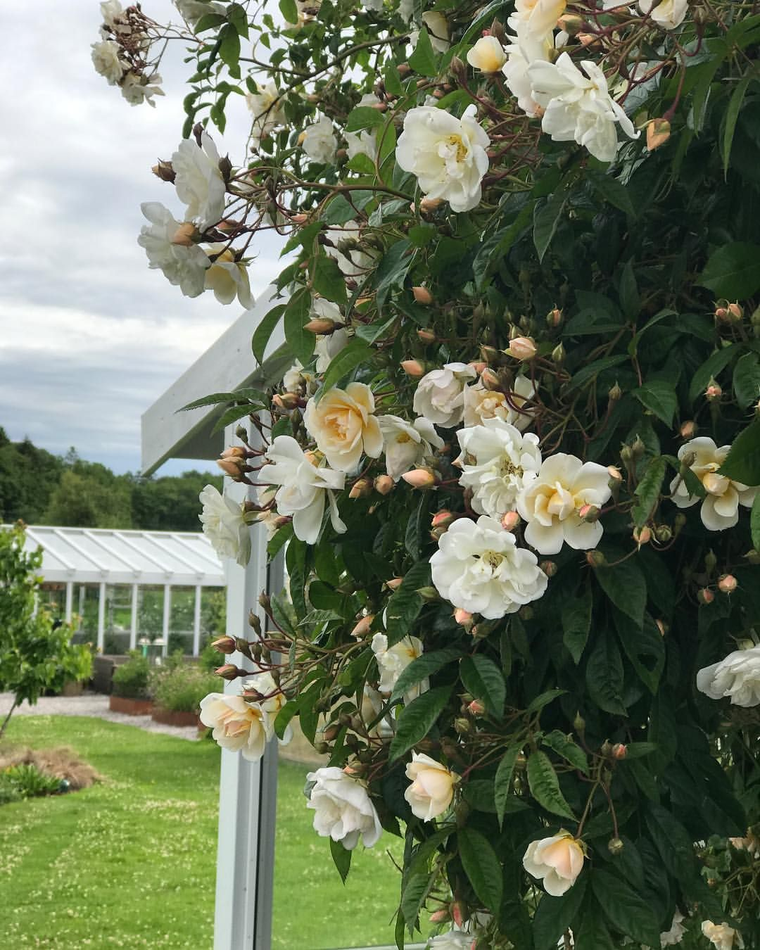 3 654 Likerklikk 45 Kommentarer Halvor Bakke Halvor Bakke Pa Instagram Lykkefunn Denne Rosen Er Bare Magisk Og Lukter F Floral Wreath Plants Floral