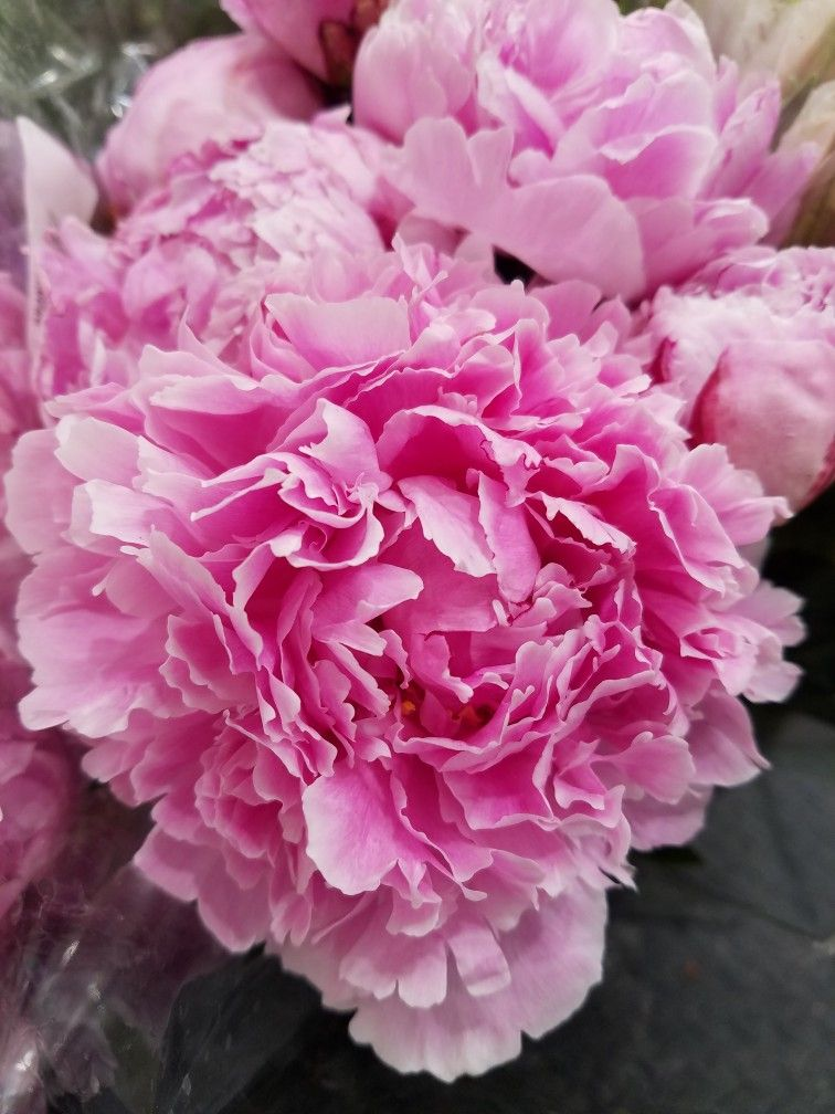 Pink Carnation Flowers Detailed Close Up Photo Carnation Flower Trees To Plant Flowers