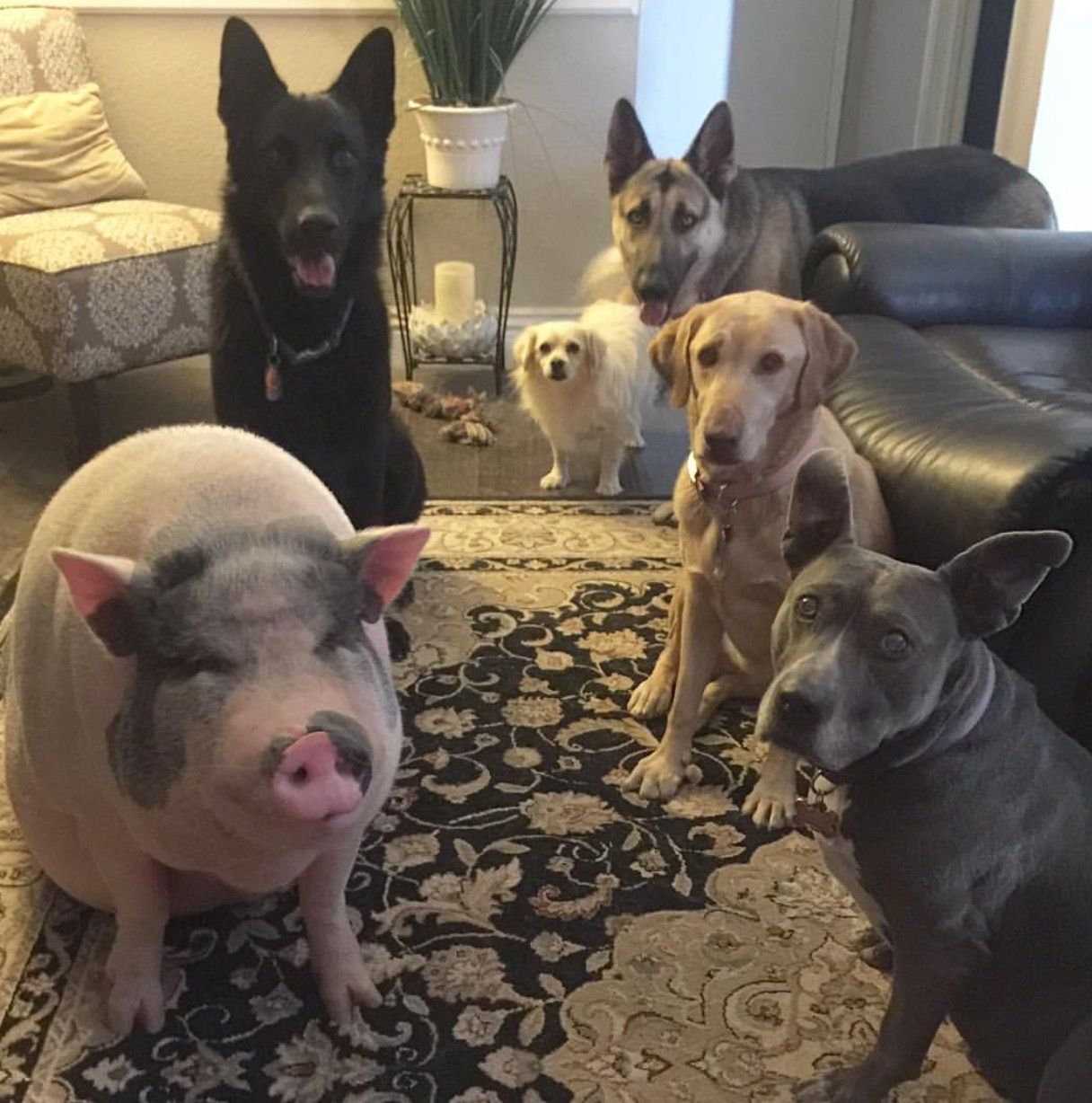 They are the air I breathe Pig rescue, Dogs, Raising pigs