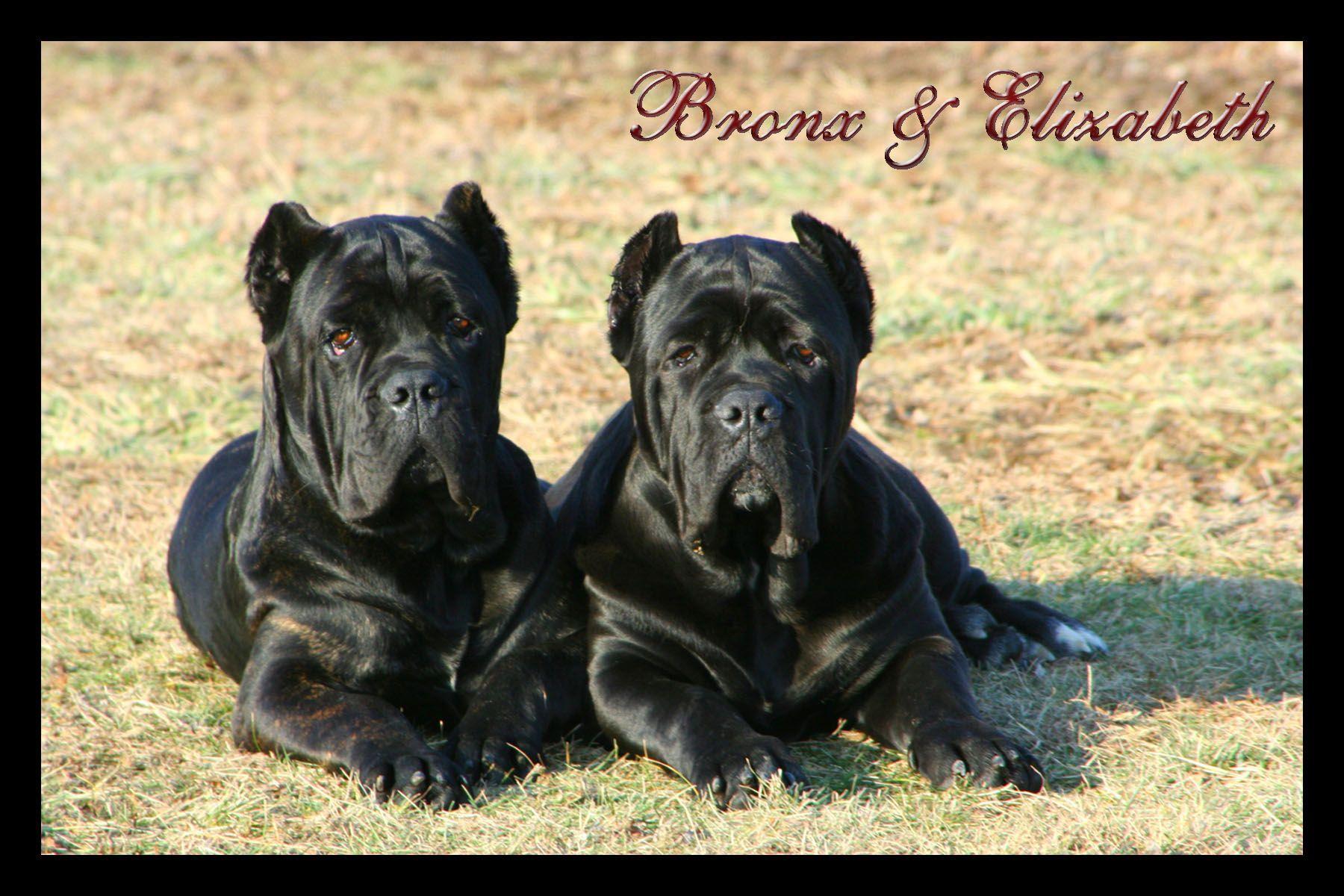 Bronx Elizabeth Cane Corso Cane Corso Puppies Cane Corso Kennel