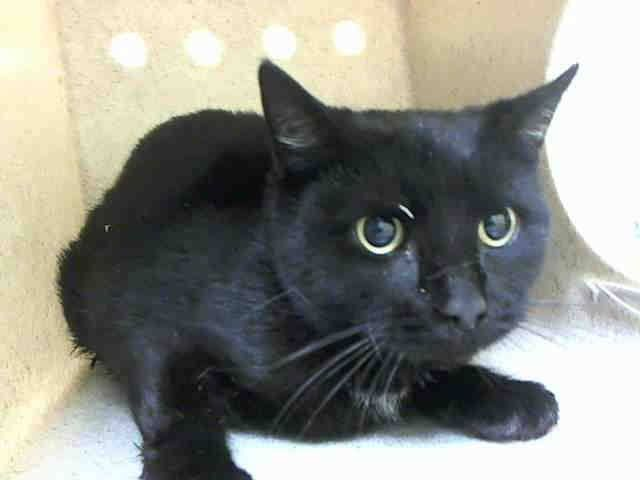 Another Chance!! NYC **Gorgeous Girl** TO BE DESTROYED 02/19/15 RAVEN seems to not be thriving in this environment and at the time of the assessment & was displaying behaviors that preclude placement in the adoptions room. New Hope Only!  ID #A1027938. Female black about 1 YEAR STRAY. I came in with Group/Litter #K15-004041. https://www.facebook.com/nycurgentcats/photos/a.956525684365419.1073742597.220724831278845/956525867698734/?type=3&theater