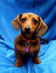 Mini Is An Adoptable Dachshund Dog In Wichita Ks Mini Is A Sweet