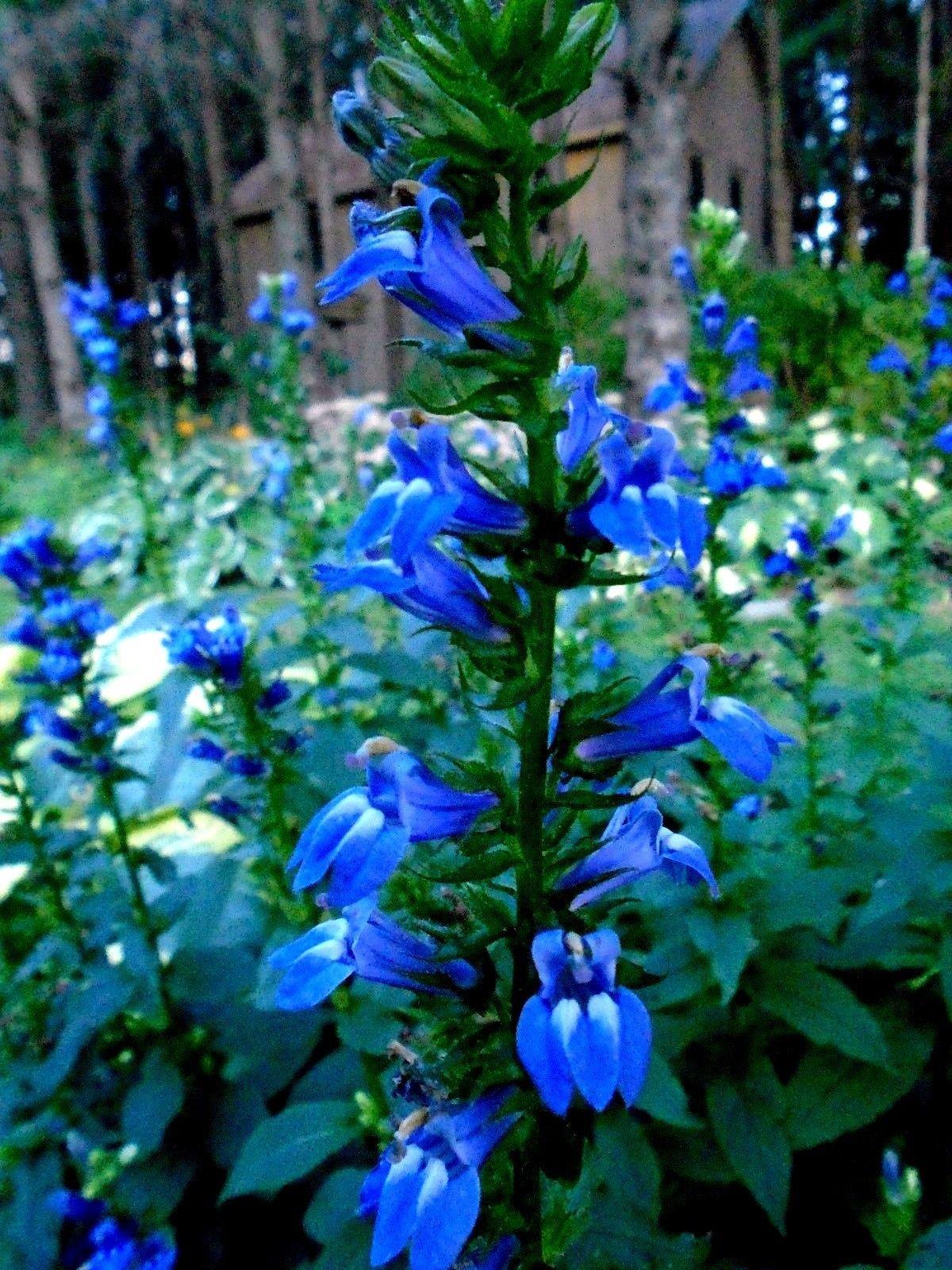 Blue Lobelia Plant Flowering Perennial Favorites Flowers