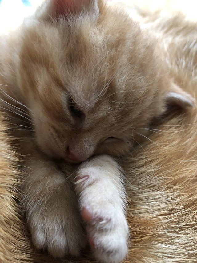 Ginger Cats Kittens Rehome Buy And Sell In Teddington Gingerkitten Ginger Cats Rehome Buy And Sell In Teddingt Ingwer Katzen Katzen Katzenbabys