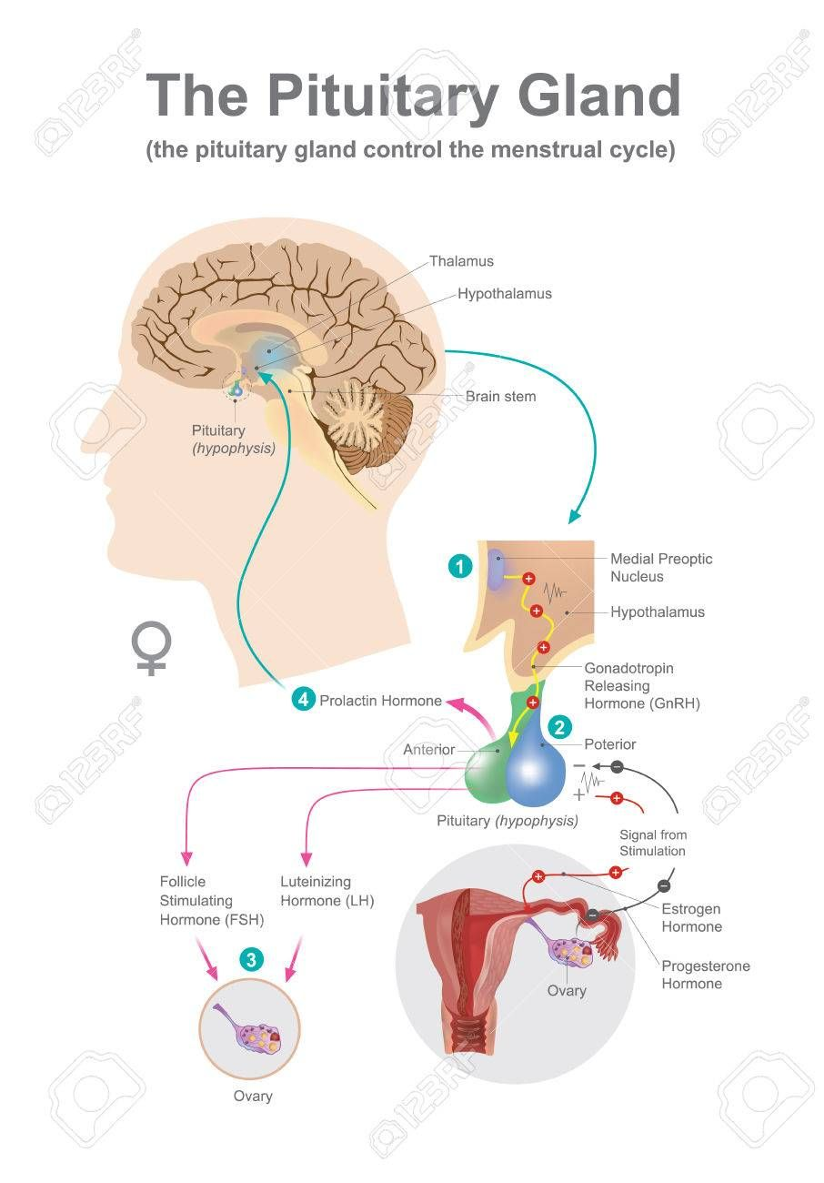 medium resolution of the pituitary gland help control secreted hormones of growth blood pressure certain functions of the sex organs thyroid glands and metabolism as well as