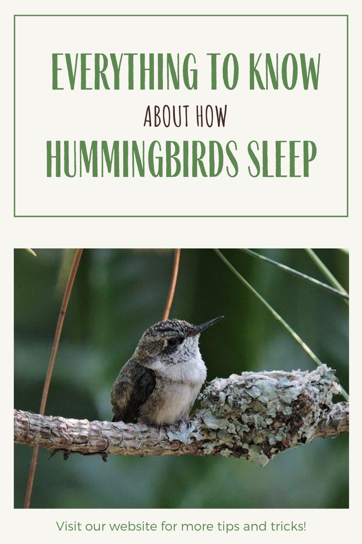 Do Hummingbirds Sleep If So How Hummingbird Bird Wings