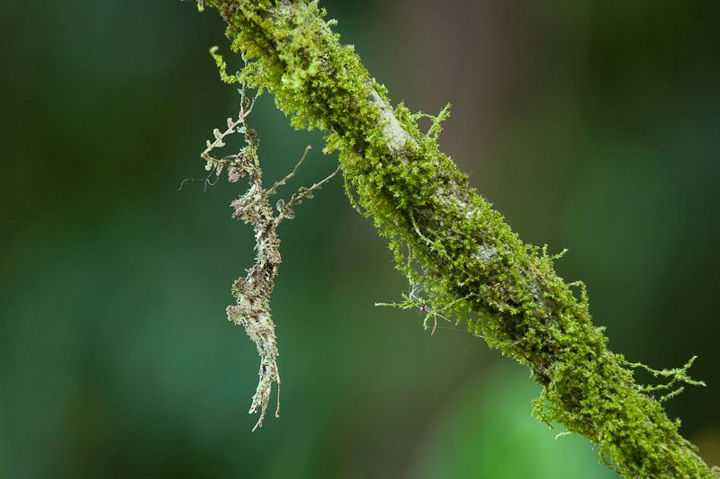 https://flic.kr/p/bDYrmU | Moss-like Walking Stick 301V0771.jpg | An amazingly camoflaged creature!!  Head is toward the top, below the two legs.  The antennae are visible to the left as thin kinked threads.