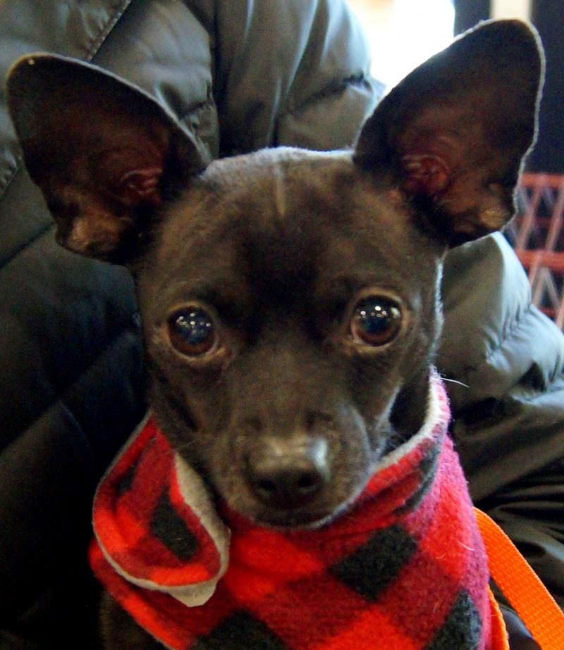 Adopt Terry On Chihuahua Dogs Adoption Pet Adoption