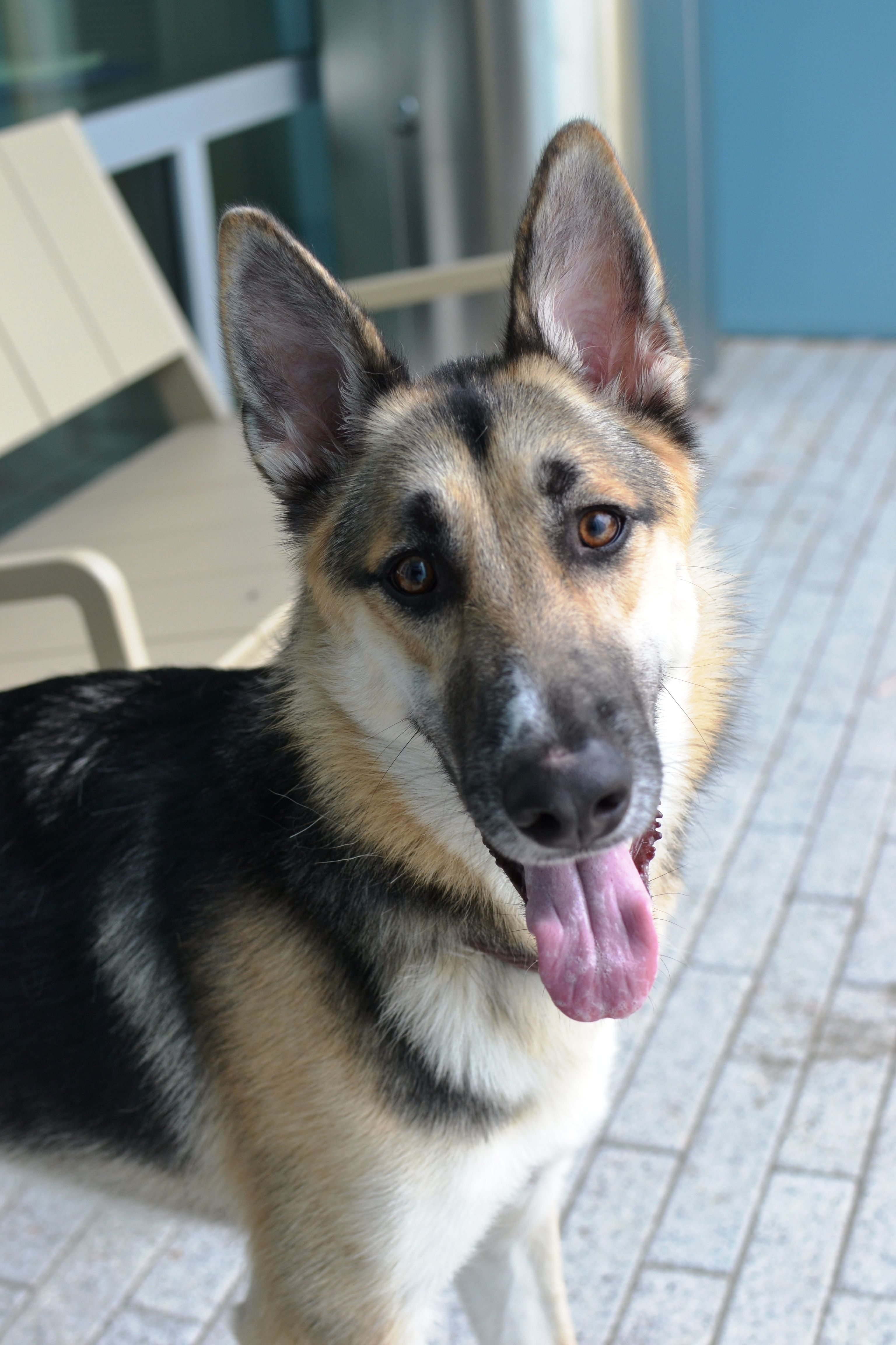 Adopt Dodger On Dogs German Shepherd Dogs Dog Search