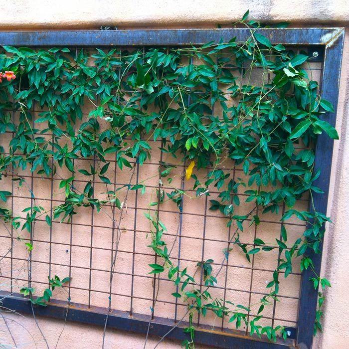 Delightful Trellis Plants For Shade Part - 4: U0027Tangerine Beautyu0027 Crossvine Climbing A Trellis. Plants For Dry ShadeDesert  ...