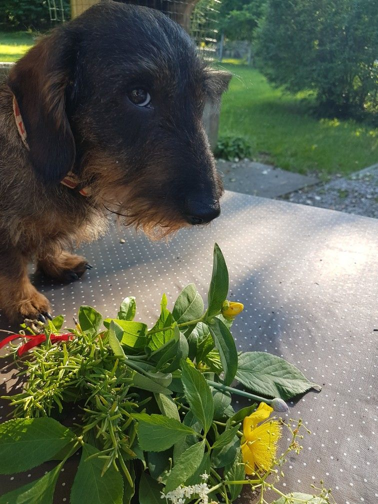 Pin by Shannon Barker on pino dachshund in 2020 Wire