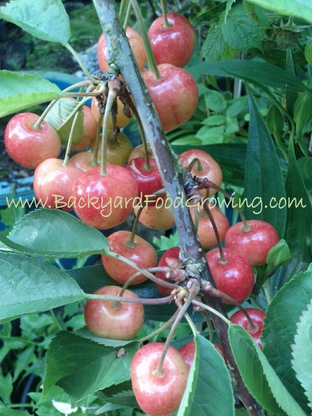 How To Grow Cherry Trees In Containers How To Grow Cherries Growing Cherry Trees Backyard Food