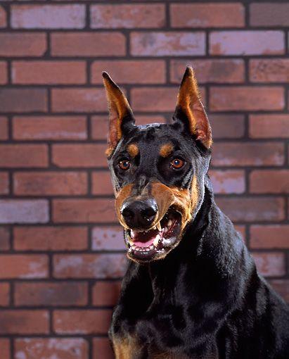Grizzly Doberman Dog 01 Rk0228 05 C Kimball Stock Shoulder Shot