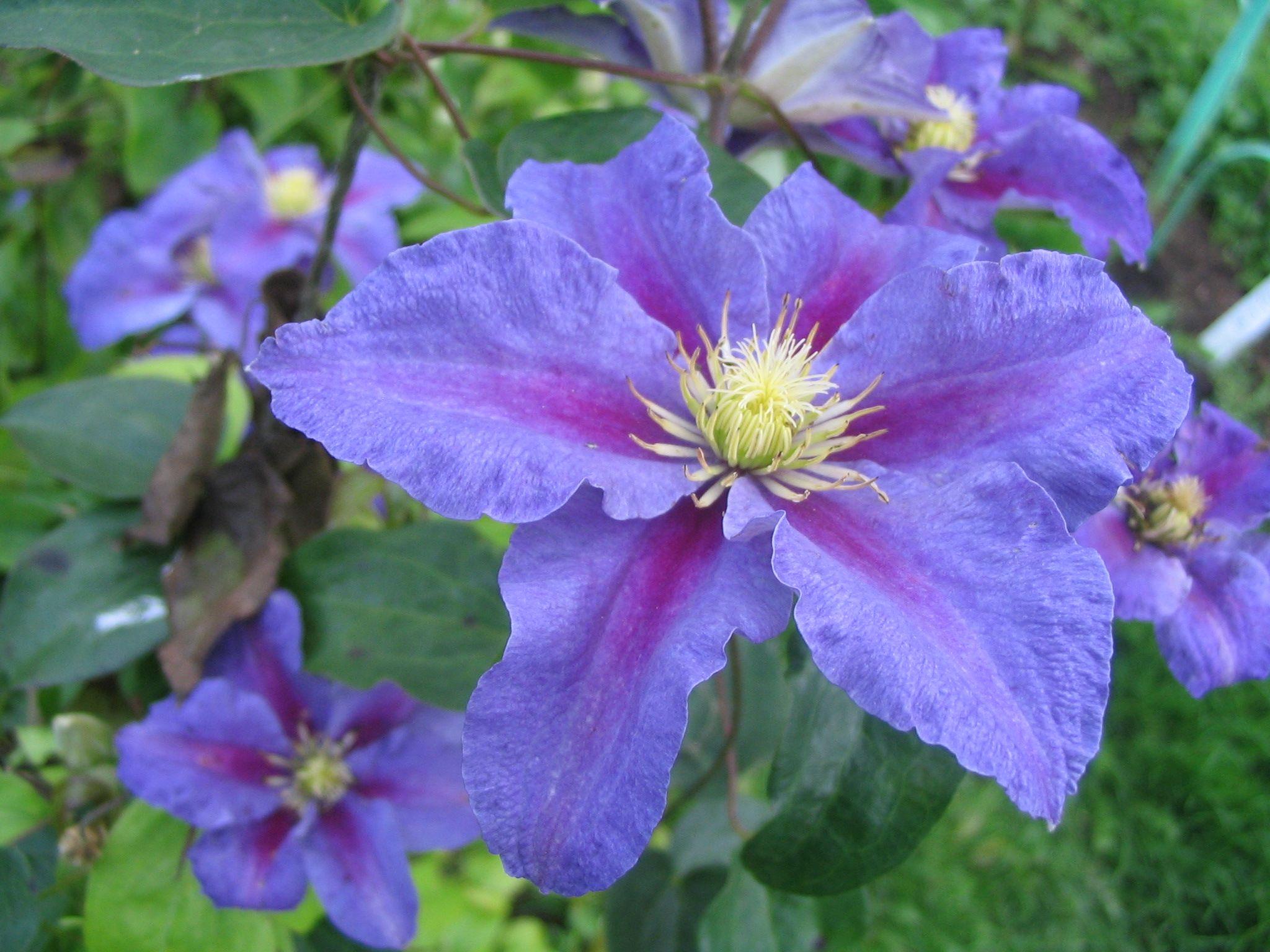 Ristimgi2g 20481536 pixels violets are blue pinterest jpg 20481536 pixels violets are blue pinterest clematis and fence izmirmasajfo