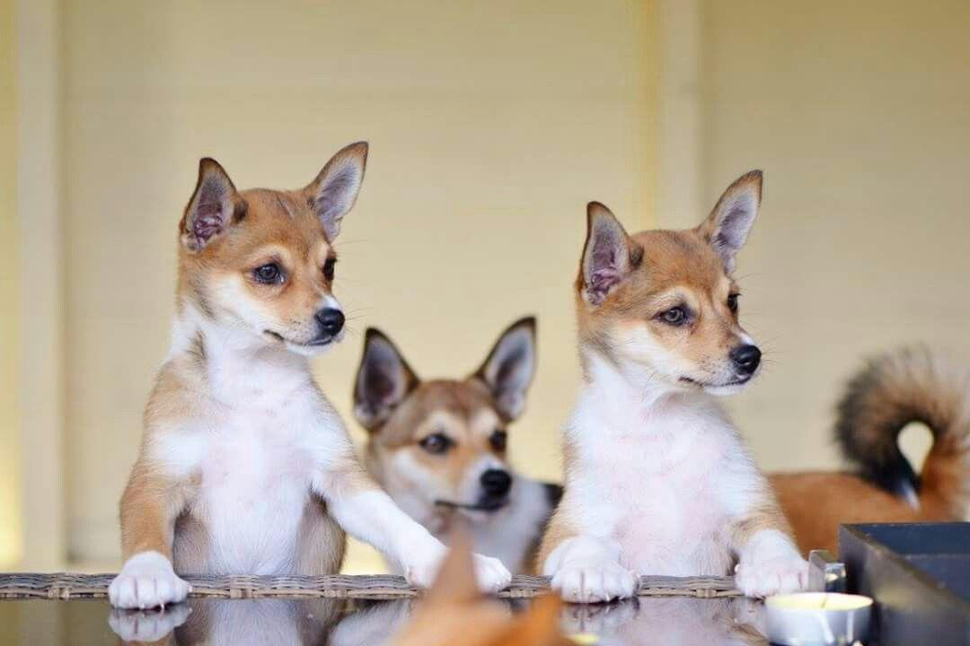 Norwegian Norsk Lundehund Puppies Wwwvorkosmiacom Cute Pets