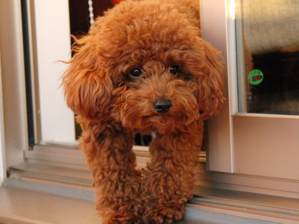 small miniature poodle adult jpg 853x1280