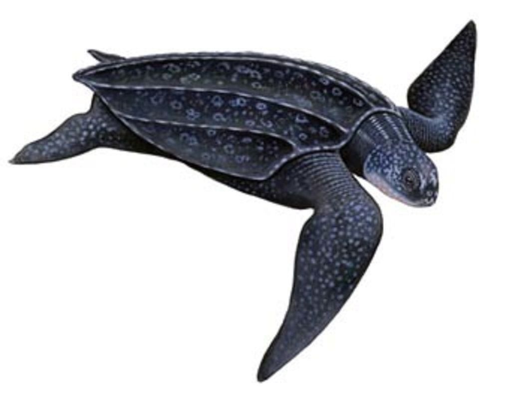 Art Illustration Oceans Seas Leatherback Turtle Dermochelys Coriacea It Is The Largest Of All Sea Turtles Reaching A Length Of 2 3 Meters And A Wei Rua