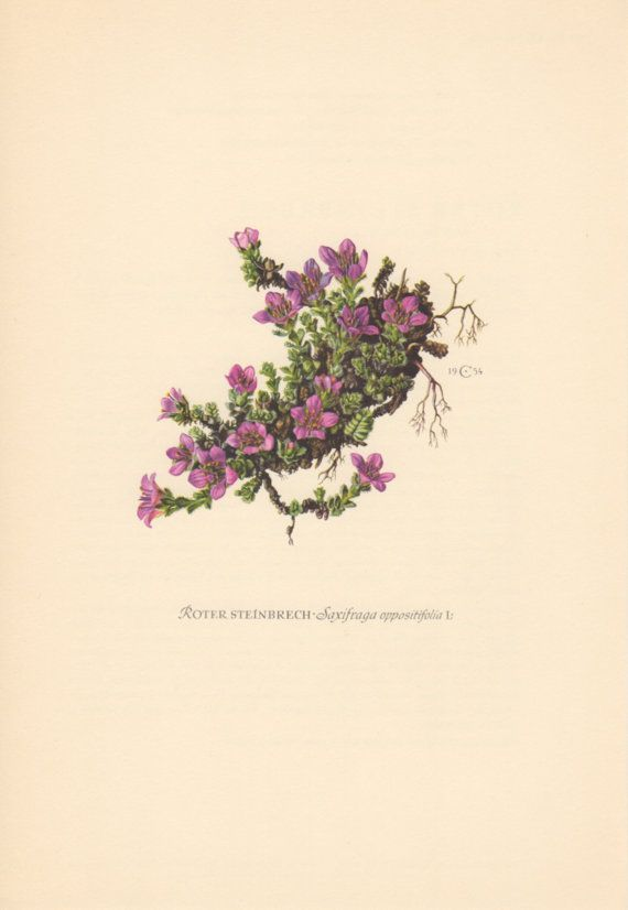 1954 Purple Saxifrage Antique Botanical Print Vintage ...  Purple Saxifrage Drawing