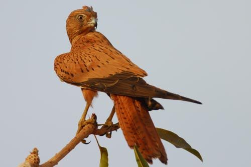 Fox Kestrel (Falco alopex); classified as least concern (LC); 13-15 inches tall with a wingspan of 30-35 inches.
