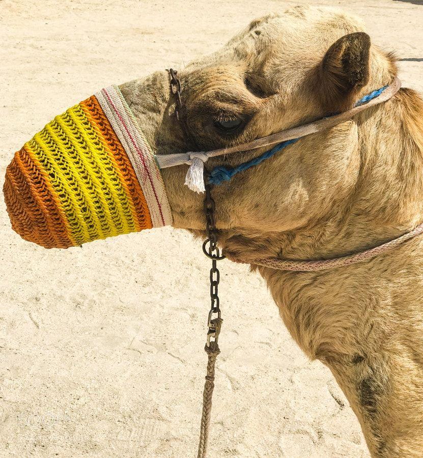 Camel by OlcayKarakas