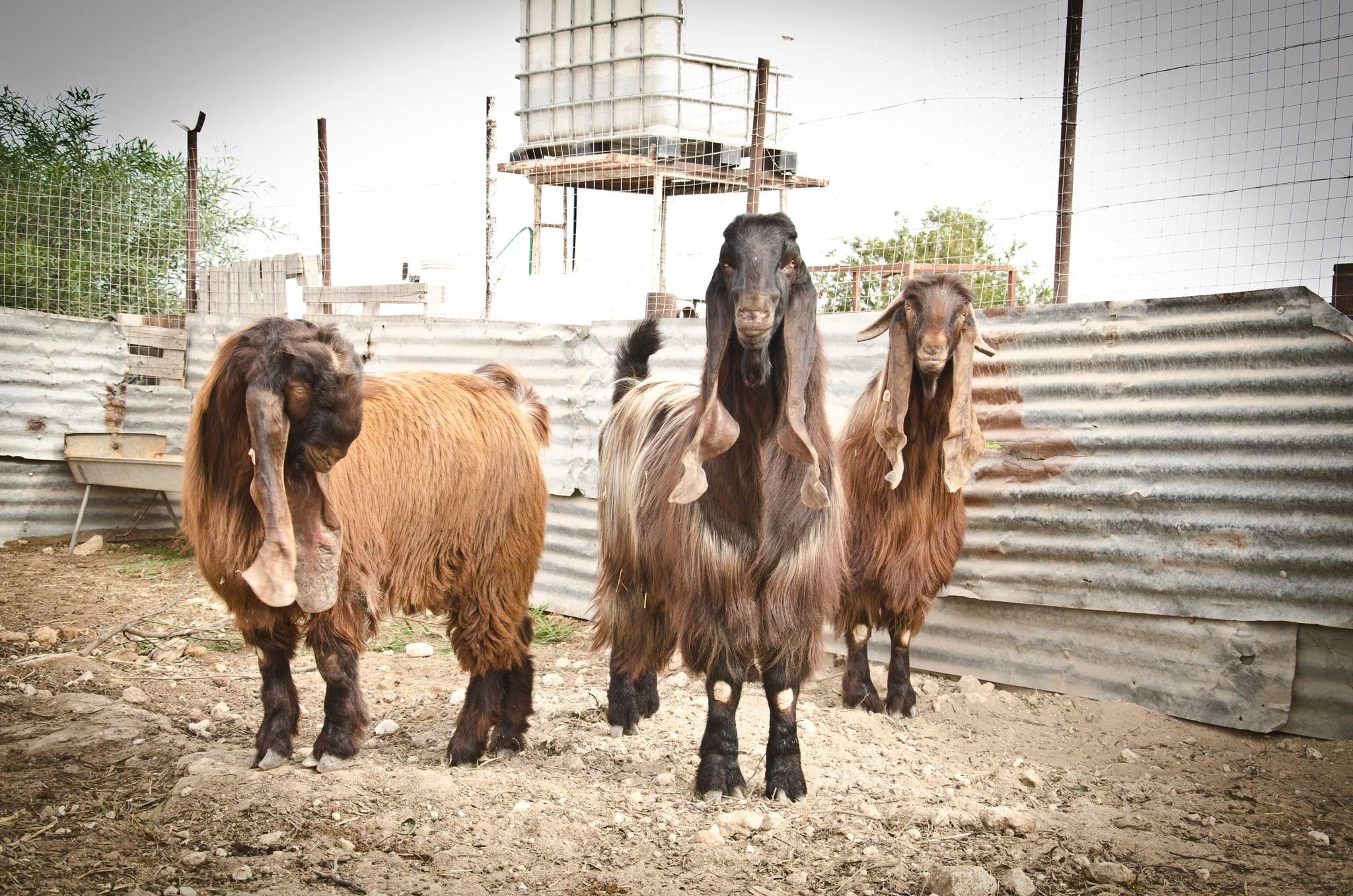 billy goat, Damascus Goat Goats Pinterest Goats, Damascus