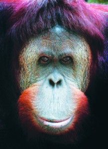Cool Donation Helps Jackson's Bubbles & Other Apes At Sanctuary #bigassfans