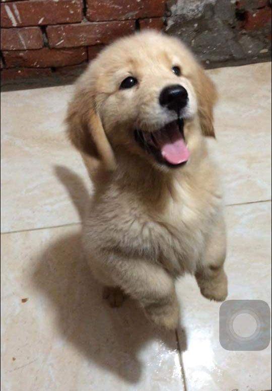 Justviral Net Find Viral Images Online Retriever Puppy Golden Retriever Dogs Golden Retriever