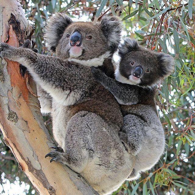 Australia travel list volunteer program Koala, Koala