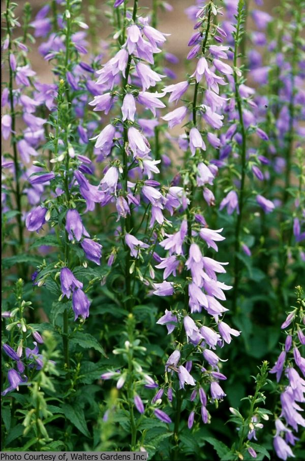 Adenophora \'Amethyst\'. I\'ve always called this a weed but have ...