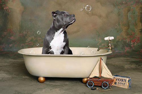 Cute Pitbull In Bath Tub Pitbulls Cute Pitbull Terrier Bull