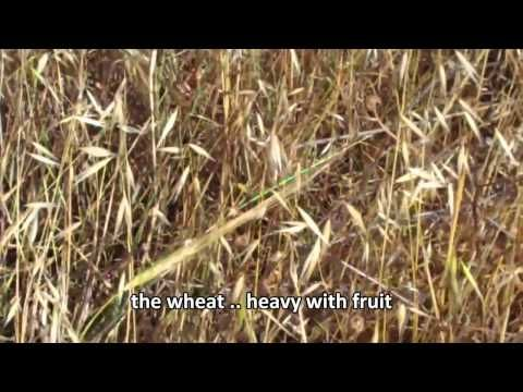 Harvest of the Wheat - Shavuot (Hebrew) (Pentecost in Greek) - beautiful explanation - must read screen, audio only music - 10 minutes. Last minute, suggests rapture occurs on Shavuot, which I believe is what Jonathan Cahn also believes - YouTube
