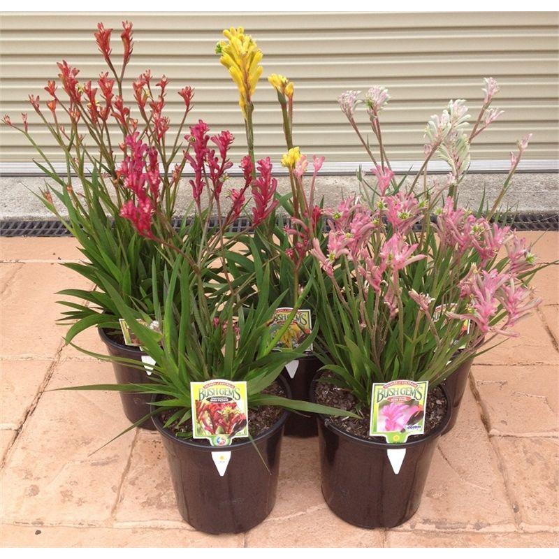 "1 Plants Kangaroo Paw Yellow Ship in  1 Gal Pot 8/"" to 1 Feet Tall"