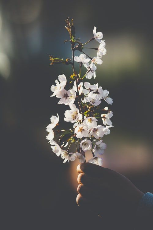 Person Holding White Flowers White Flower Photos Nature Photography Flowers Photography